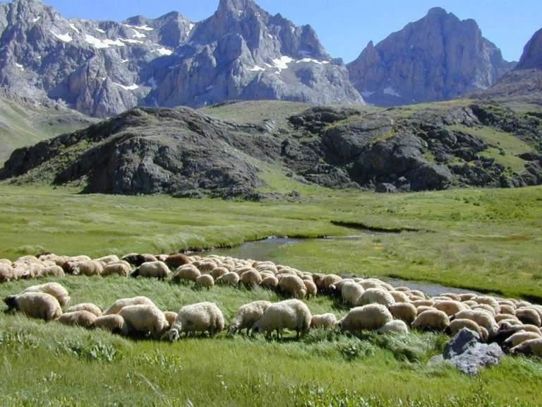 Baharı karşılayan koyunlar…